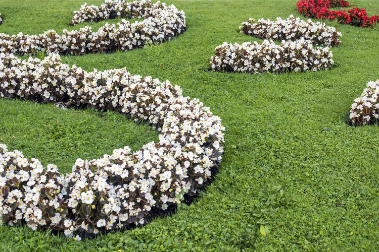 Begonia Flower Garden Flower Garden Flowers Gardening Red Beauty In Nature Begonia Blossom Day Flower Flowerbed Garden Grass Green Color Large Group Of Objects Nature No People Outdoors White