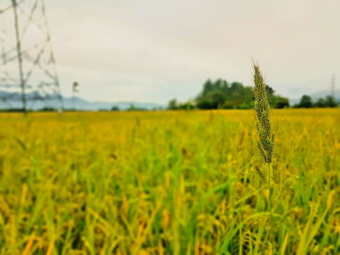 The field Field Growth Nature Agriculture Crop  Rural Scene Farm Landscape Focus On Foreground Tranquility Plant Cereal Plant No People Beauty In Nature Outdoors Tree Grass Day Close-up Fragility First Eyeem Photo