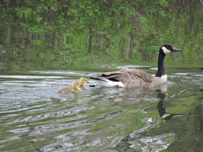 Water Animal Animal Themes Animal Wildlife Animals In The Wild Vertebrate Bird Swimming Lake Group Of Animals Nature Waterfront Day No People Two Animals Young Bird Plant Water Bird Floating On Water Outdoors Animal Family Gosling