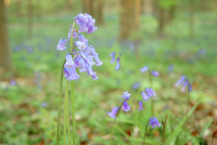 The magic of Hallerbos - bluebells - April 2019 - Flowering Plant Flower Plant Vulnerability  Fragility Freshness Beauty In Nature Growth Purple Land Field Petal Nature Close-up Selective Focus Day No People Focus On Foreground Inflorescence Outdoors Lavender Flower Head Bluebells Hallerbos Bois De Hal Hyacinth Flower