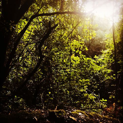 Nature Sunlight Tree Beauty In Nature Sun Growth Sunbeam No People Forest Low Angle View Tranquility Scenics Tranquil Scene Outdoors Day Freshness I Am In Love With Mother Nature