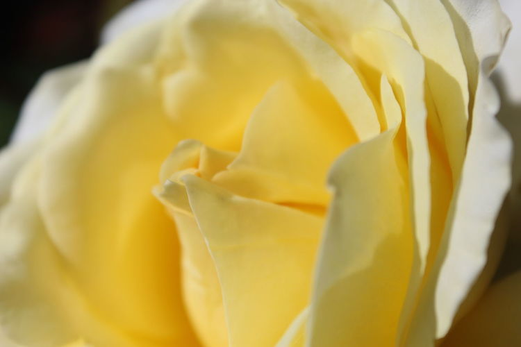 A kiss from a Rose Beauty In Nature Close-up Flower Flower Head Freshness Nature Outdoors Petal Rosé Rose - Flower Selective Focus Softness Yellow