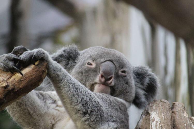 Close-up of koala in zoo