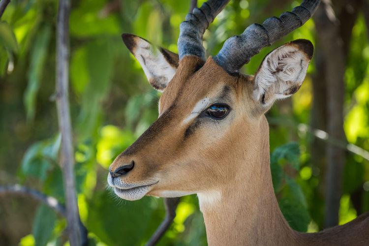 Close-up of head of impala