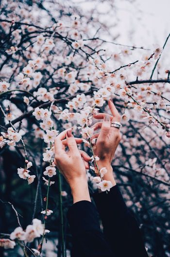 Cropped hands of woman touching cherry blossoms on tree