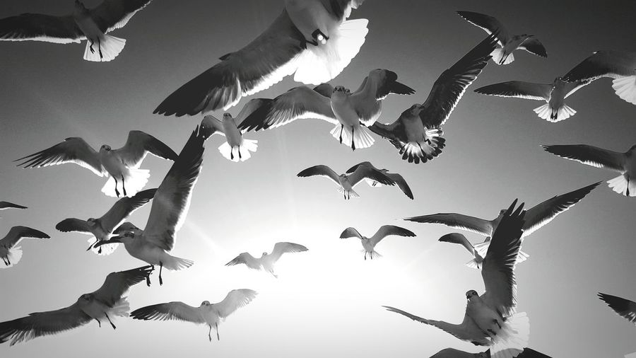 More seagulls and sunshine in black and white Flying Mid-air Outdoors Spread Wings Flock Of Birds Bird Large Group Of Animals Day Sky Summer View Black And White Birds Flock Cellphone Photography NatureBlack And White Photography Flock Of Birds Black