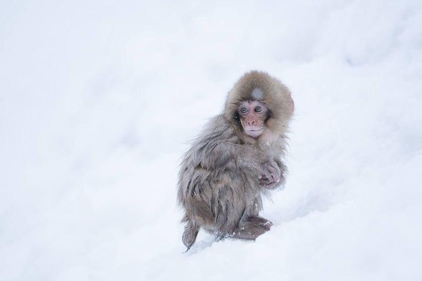 雪の中でぼっち。 Monkey Wildlife Animals Alone It's Cold Outside Showcase: February Cute Nature