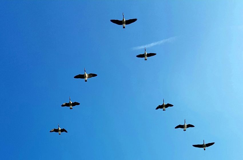 Gooses Gooses In Flight Formationofbird Formation Flying Formation Of Nature Blue Sky View From Below