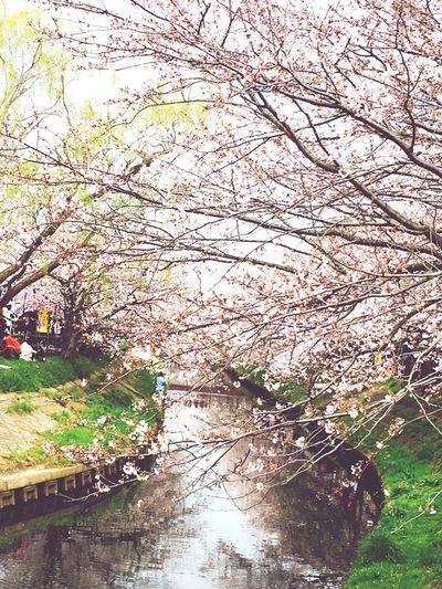桜 Cherry Blossoms Hello World That's Me EyeEmbestshots EyeEm Nature Lover Cherry Springtime Spring Into Spring Spring Has Arrived