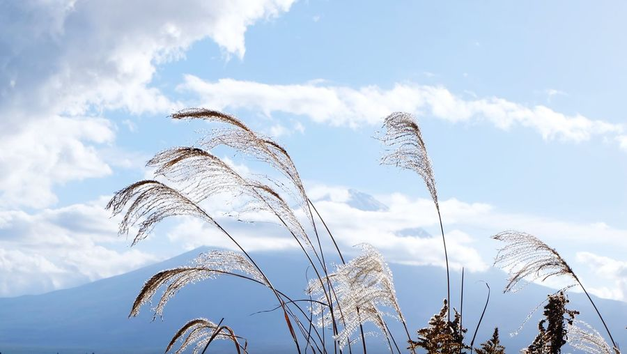 Low angle view of tall grass against blue sky