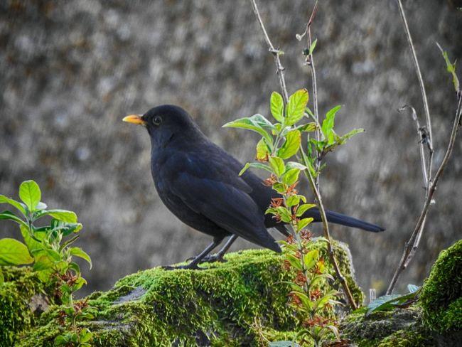 Bird Blackbird Songbird  Outdoors Perching No People Nature Animal Wildlife Berwick
