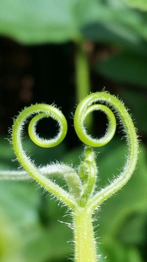 Heart pumpkin Tendril No People Freshness Beauty In Nature Fragility charming shot Outdoors Plant Nature Growth Pumpkin Tendril Formed Like A Heart Heart ❤ Heart Shape Green Color Close-up Art Is Everywhere