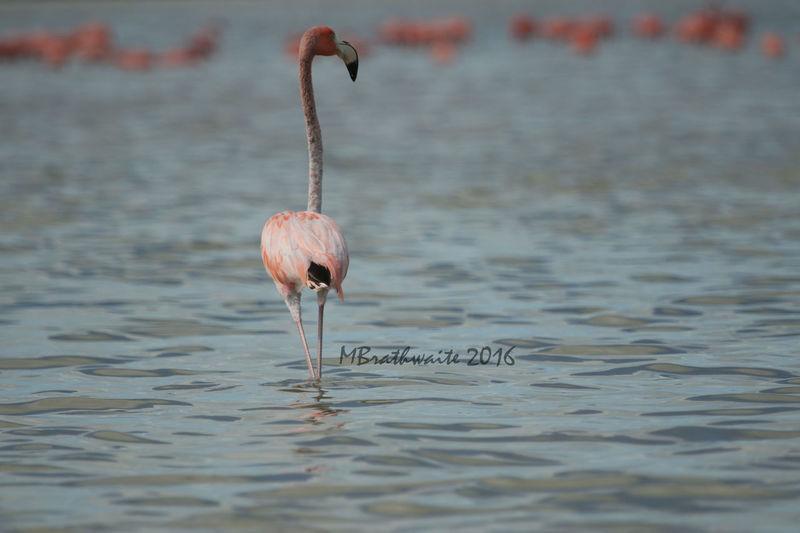 Flamingo Waiting Wishing Wading Pink Serenity