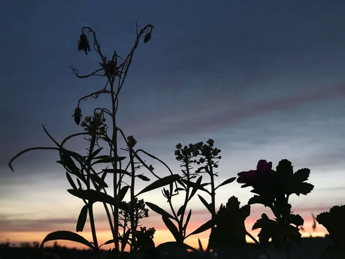Low angle view of silhouette flowering plants against sky during sunset