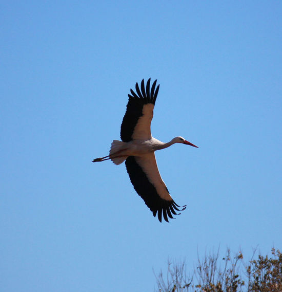 Feathers Animal Themes Animal Wildlife Animals In The Wild Beauty In Nature Bird Blue Clear Sky Day Flying Full Length Low Angle View Mid-air Motion Nature No People One Animal Outdoors Sky Spread Feathers Spread Wings Stork White Stork Wingspan Wingtips