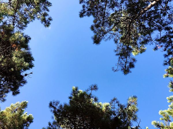 Tree Low Angle View Blue Growth Clear Sky Branch Nature Beauty In Nature Day Sky Scenics Tranquility High Section Outdoors Tranquil Scene Green Color Treetop No People Pine Pinetrees Galicia SPAIN