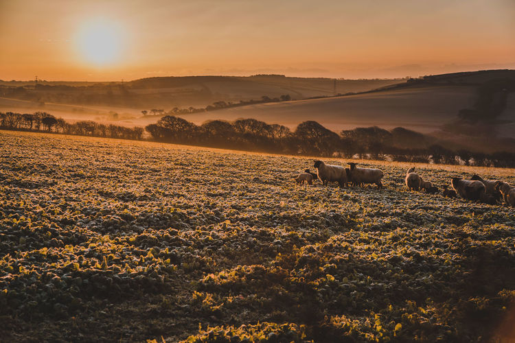Mammal Animal Themes Animal Sky Livestock Sunset Domestic Landscape Domestic Animals Environment Field Pets Land Beauty In Nature Scenics - Nature Vertebrate Nature Agriculture Tranquil Scene Tranquility No People Sun Outdoors Herbivorous