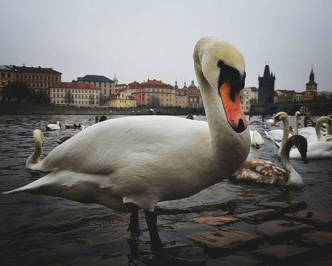 Water Bird Fountain Animal Themes Adults Only Swan Day Sky Prague Pragueoldtown Prague Czech Republic Swantastic Swans Praguelover Prague Time Prague Tower Eyeemphotography EyeEm Eyeem Market