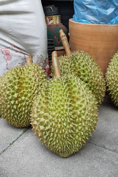 The durian of the relatives of Chanthaburi Strong Smell Fruits Durian King Fruit Green Color Thai Thailand Delicious Popular Expensive Close-up Thorn