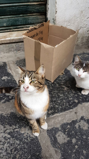 Pets Cardboard Box Portrait Domestic Cat Sitting Feline Looking At Camera Animal Themes Cat Kitten Ginger Cat Siamese Cat Domestic Animals Young Animal Pet Bed At Home