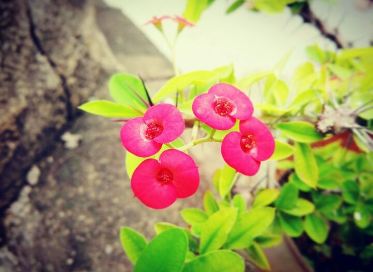 The OO Mission Flowers Green RedishPink Raniy Days Fresh Fan Of Huawei P9 Clicked By Redmi 2 EyeEm Nature Lover Shutterstock Showcase July 2016 Showcase July Two Is Better Than One
