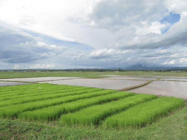 Agriculture Beauty In Nature Cloud - Sky Crop  Cultivated Land Day Farm Field Grass Green Color Growth Landscape Nature No People Outdoors Rice Paddy Rural Scene Scenics Sky Tranquil Scene Tranquility