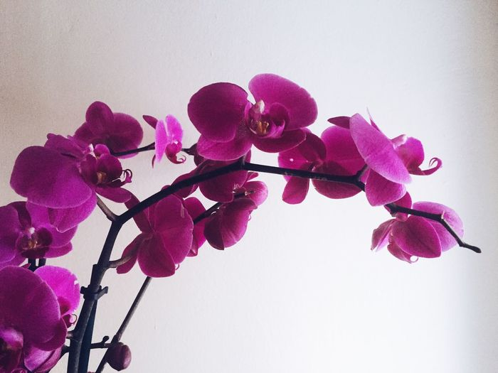 Orchid Flower Petal Beauty In Nature Low Angle View Pink Color No People Fragility Blooming Outdoors Clear Sky Close-up Flower Head White Background Growth Freshness Nature Day Purple