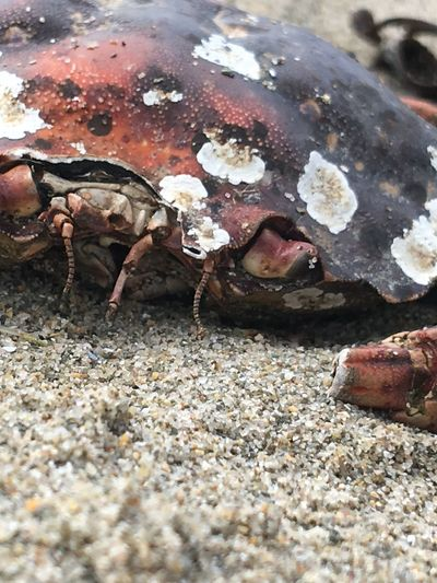One Animal Animal Themes Animal Wildlife No People Animals In The Wild Close-up Day Nature Outdoors Sea Life crab, dead