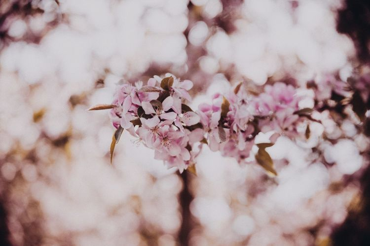 Bokeh Bokeh Nature Spring Has Arrived Cherry Blossom Tree Cherry Blossoms Pink Flowers Spring Time EyeEm Selects Flower Flowering Plant Plant Beauty In Nature Fragility Freshness Blossom Growth Close-up Pink Color Nature Day Selective Focus Springtime