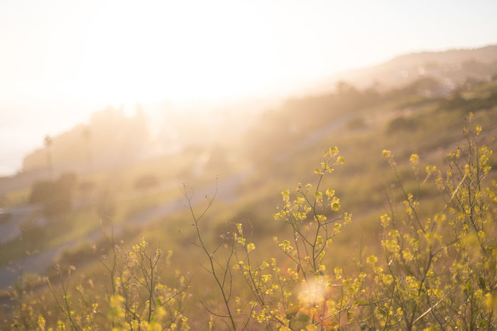 Black Mustard glowing at magic hour Beauty In Nature Black Mustard Field Focus On Foreground Golden Hour Hills Magic Hour Nature No People Ocean View Outdoors Overexposed Plant Shallow Depth Of Field Spring Sun Sunlight Sunset Sunset Glow Warmth Wildflowers Yellow Flower
