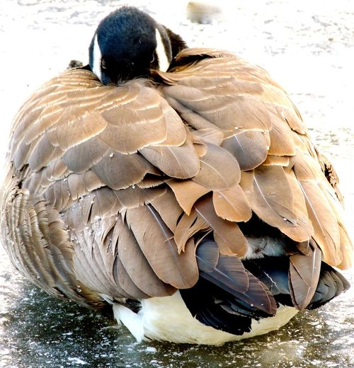 Canada Outdoors Wintertime Staying Warm For This Cold Weather Canada Geese