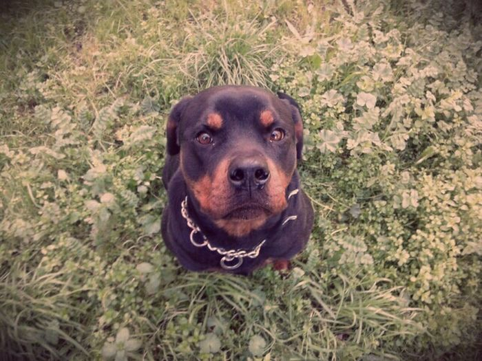 Dog Rottweiler My Girl Deadly Beautiful ı Love My Dogs Shila