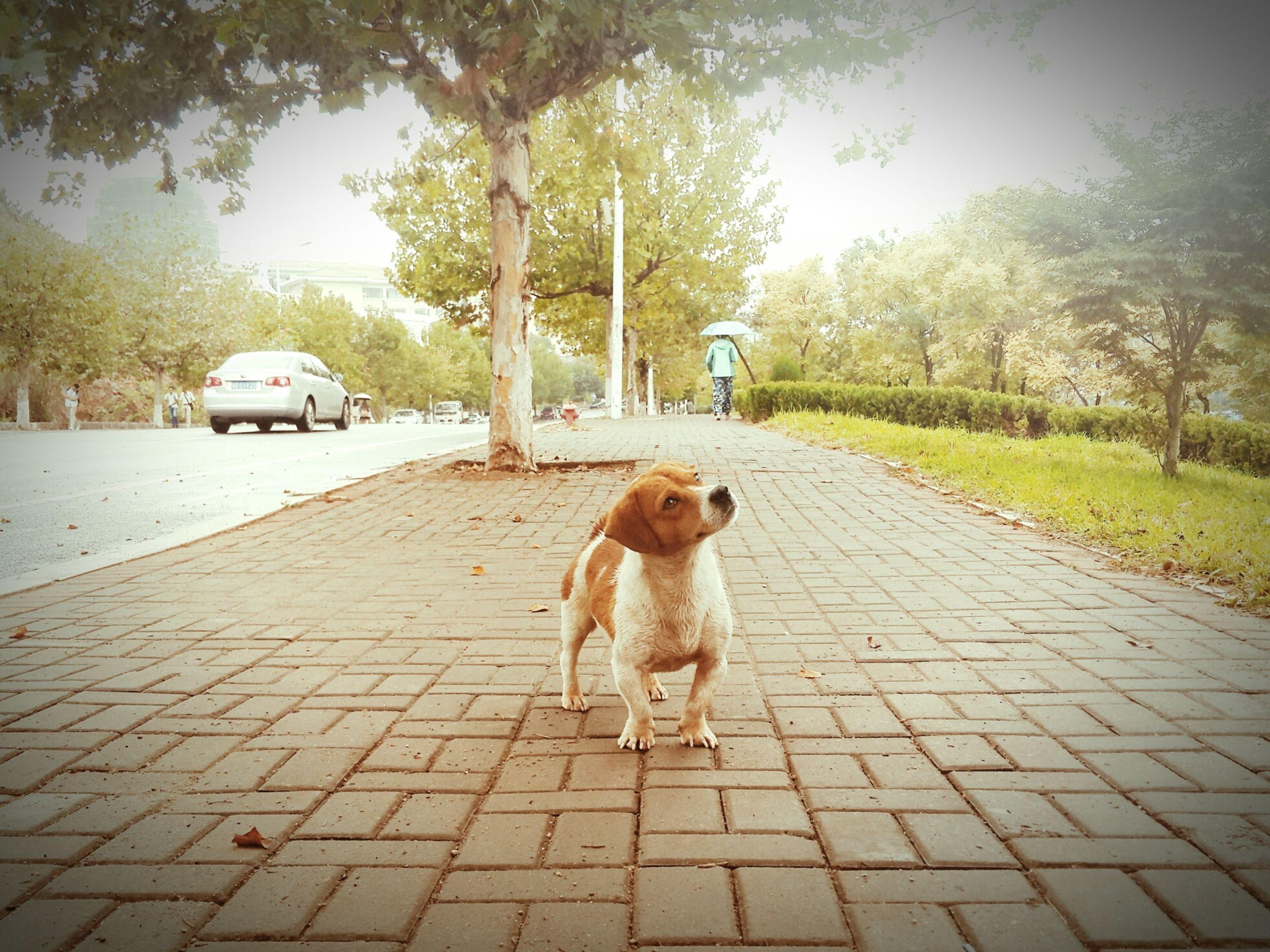 animal themes, domestic animals, mammal, pets, one animal, dog, street, road, transportation, the way forward, tree, sidewalk, footpath, full length, sunlight, outdoors, car, cobblestone, walking, standing