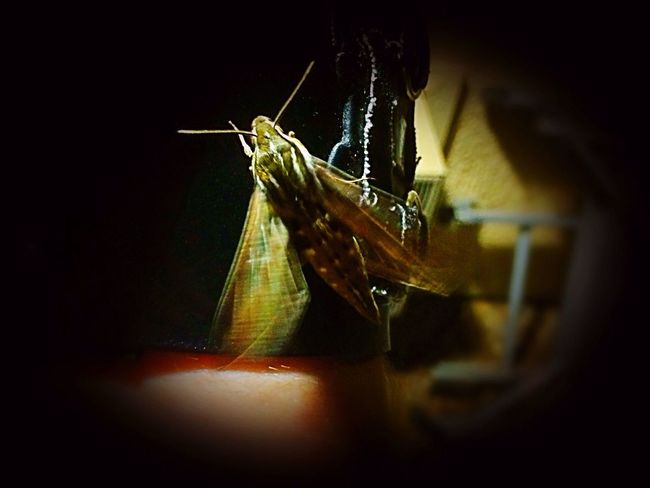 Flutter Away Young Arizona Sphinx Moth, Until Next Our Paths Cross✨ Outdoors Beauty In Nature Moth Sphinx Moth Moth Close Up Insect Theme IPhone Photography Night Photography Night Creatures Having Fun With Photography