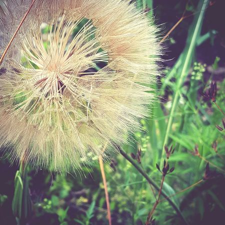 Nature Dandelion Flower Plant Growth Fragility Beauty In Nature Outdoors Close-up No People Day Freshness Flower Head