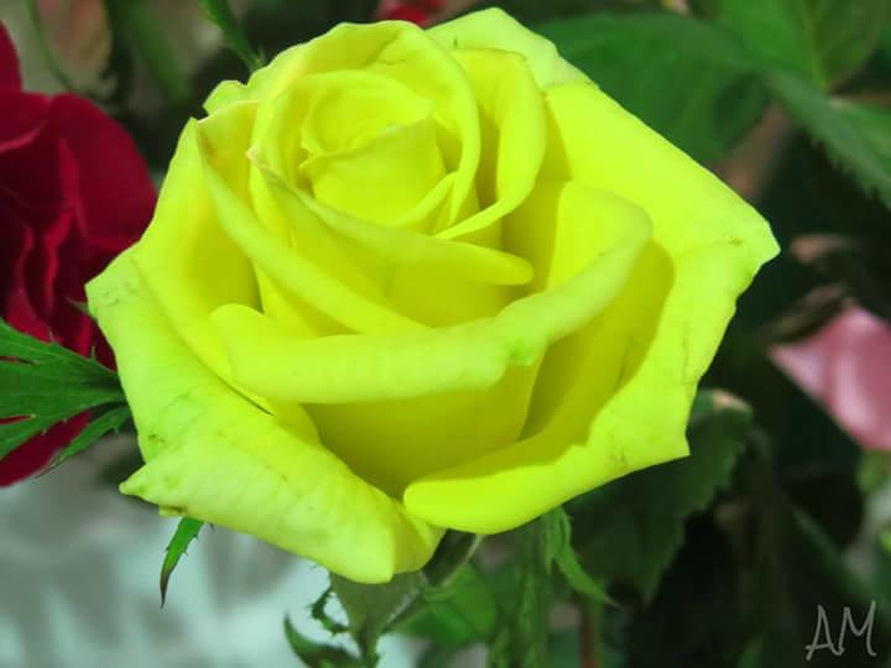 flower, nature, beauty in nature, growth, fragility, petal, plant, freshness, rose - flower, flower head, botany, springtime, green color, outdoors, yellow, close-up, no people, day, leaf, blooming