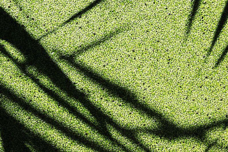 茭白筍田 Water Bamboo Sunlight Shadow Nature High Angle View Day Outdoors Green Color