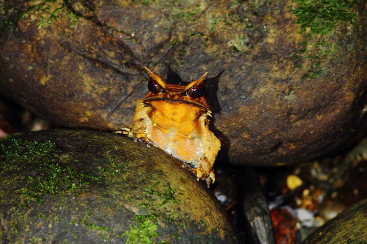 Borneo Borneon Horned Frog Brunei Darussalam Ulu Temburung National Park Animal Wildlife Nature Nocturnal Reptile And Amphibian