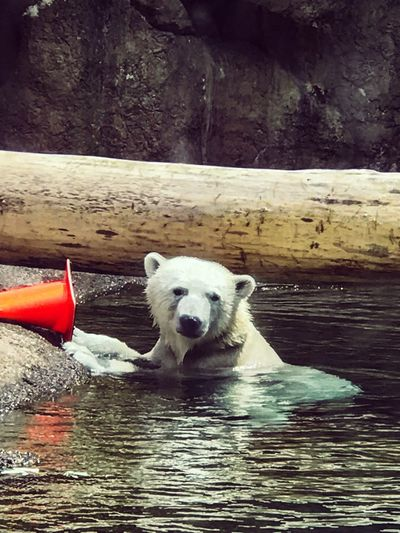 Water One Animal Day Outdoors Nature Animal Themes No People Mammal Polar Bear Animal Lover