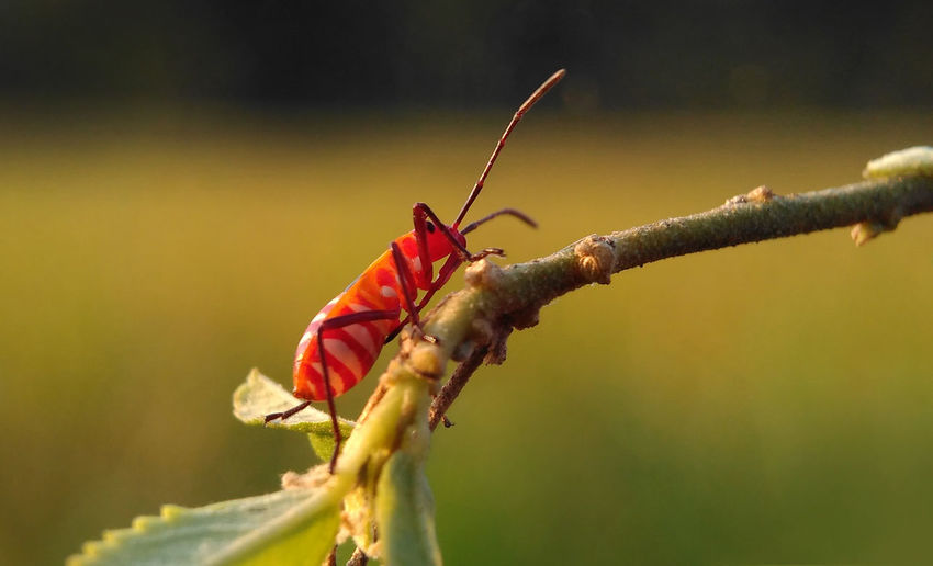 Bapak Pucung Style Animals In The Wild East Java INDONESIA Java Nature Animal Animal Themes Animals In The Wild Close-up Day Focus On Foreground Insect Insects  Nature No People One Animal Outdoors Pucung Red Red Animal