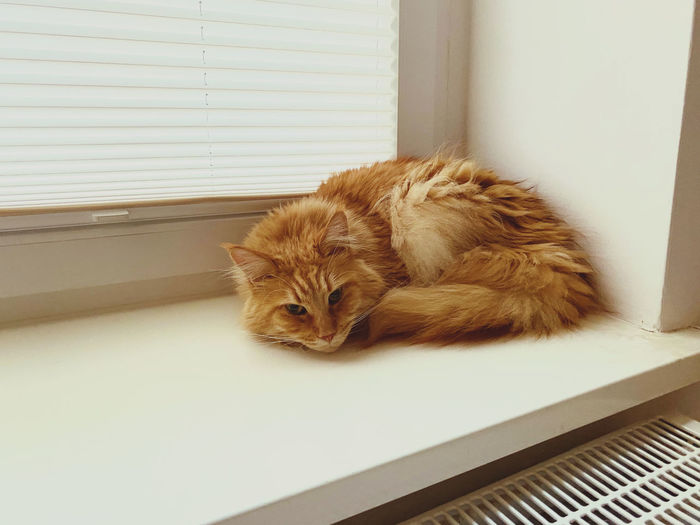 Portrait of cat relaxing on window at home