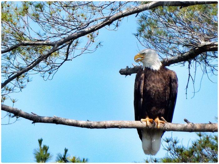 Bald Eagle Birds Eye4photography  Outdoors Eyem Best Shots Beautiful EyeEm Nature Lover Nature OpenEdit Relaxing