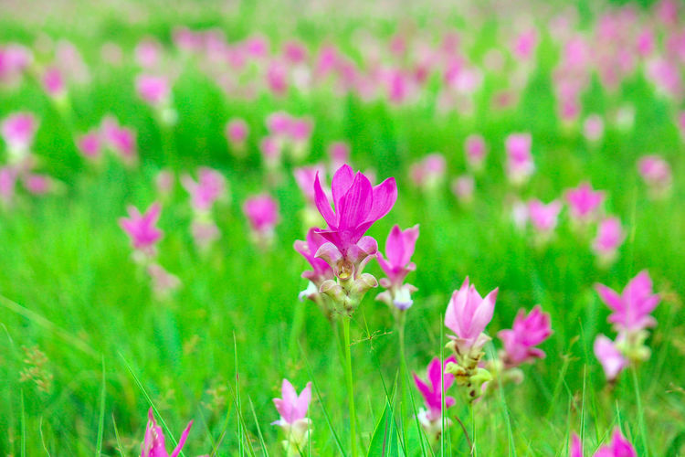 pink flower with blurred background Pink Beauty In Nature Blooming Close-up Day Field Flower Flower Head Fragility Freshness Garden Grass Green Color Growth Nature No People Outdoors Petal Pink Color Pink Flowers Plant Siam Tulip Springtime
