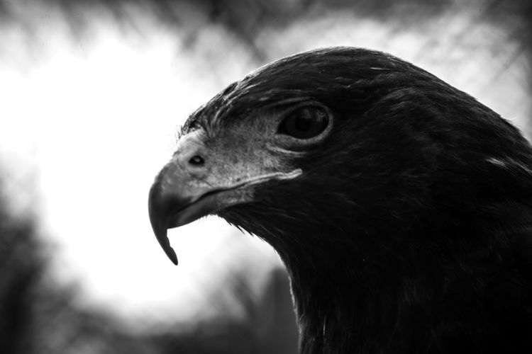 Animal Head  Animal Themes Animal Wildlife Animals In The Wild Beak Bird Bird Of Prey Close-up Day Focus On Foreground Nature No People One Animal Outdoors Side View