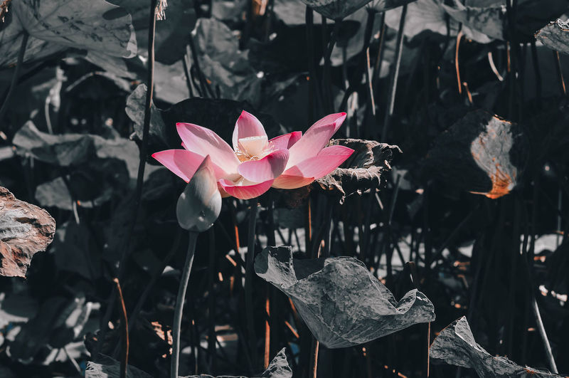 Lotus In The Marsh Songkhla Thailand Beauty In Nature Close-up Day Flower Flower Head Flowering Plant Fragility Freshness Growth Inflorescence Leaf Nature No People Outdoors Petal Pink Color Plant Plant Part Vulnerability
