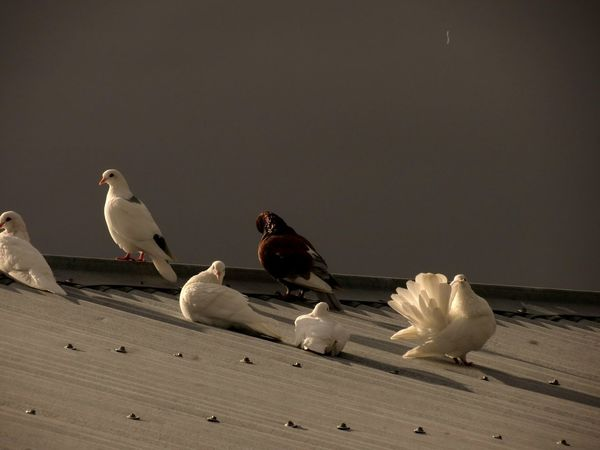 Bird Animal Wildlife Animals In The Wild No People Animal Themes Perching Nature Outdoors Day Close-up Doves White Mourning Doves Peace Zen Grey Corrugated Corrugated Iron Tin Roof Rooftop Gathering Preening Sunset Dusk Basking In The Sun