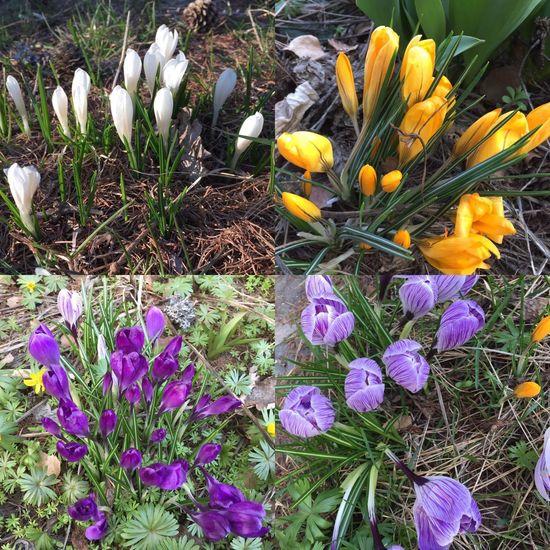 Cransmontana Nature Flower Beauty In Nature Petal Plant Crocus Outdoors