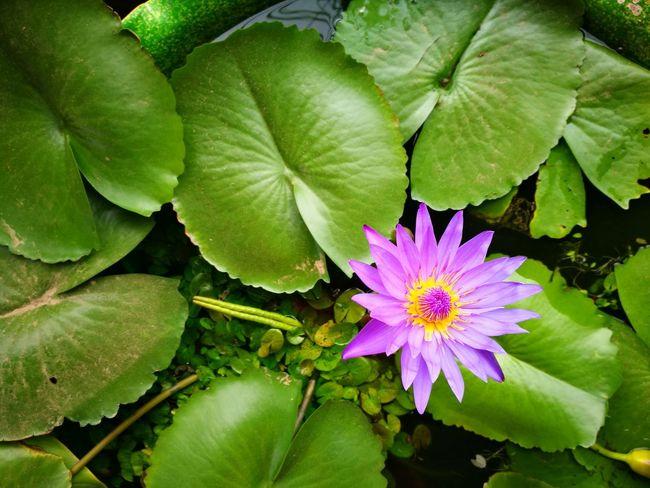 Flower Green Color Nature Outdoors Lotus Lotus Leaf Lotus Flower Lotus Thai