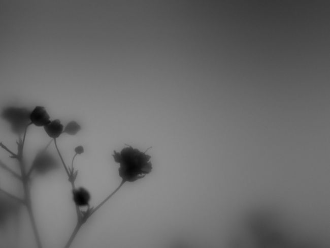 Flowers Nature Blackandwhite Light And Shadow Monochrome Simplicity Flowerporn Bw_collection EyeEm Nature Lover Shillouette かすみ草
