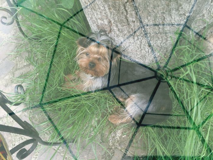 My Yorkshire Tobby. Through The Glass Taking Photos Wine Tasting Happily Buzzed Yorkshire Terrier